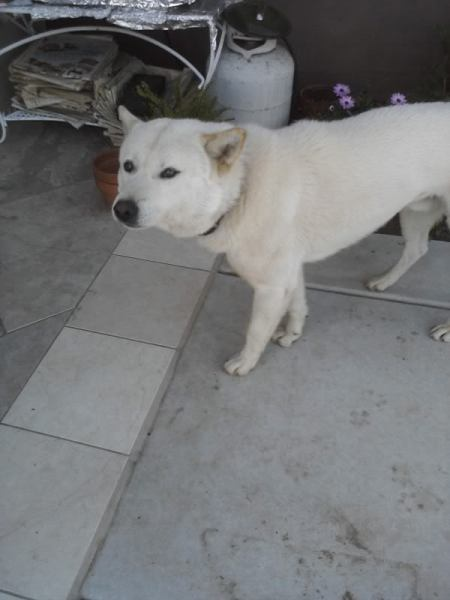 LUCKY.My favorite Korean Jindo Dog from Korea